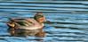 Teal (male)  (explore 21/11/17) (donnasmith13) Tags: bird duck lackfordlakes lake pond suffolkwildlifetrust teal water wildlife pato eend canard ente anatra hywaden suffolk anas crecca anascrecca