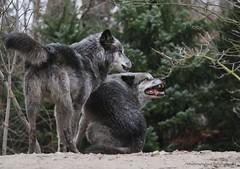 BROTHERS (babsbaron) Tags: nature tiere animals raubtier predator hunter jäger wildtier wolf wölfe wolves timberwolf zoo erlebniszoo hannover