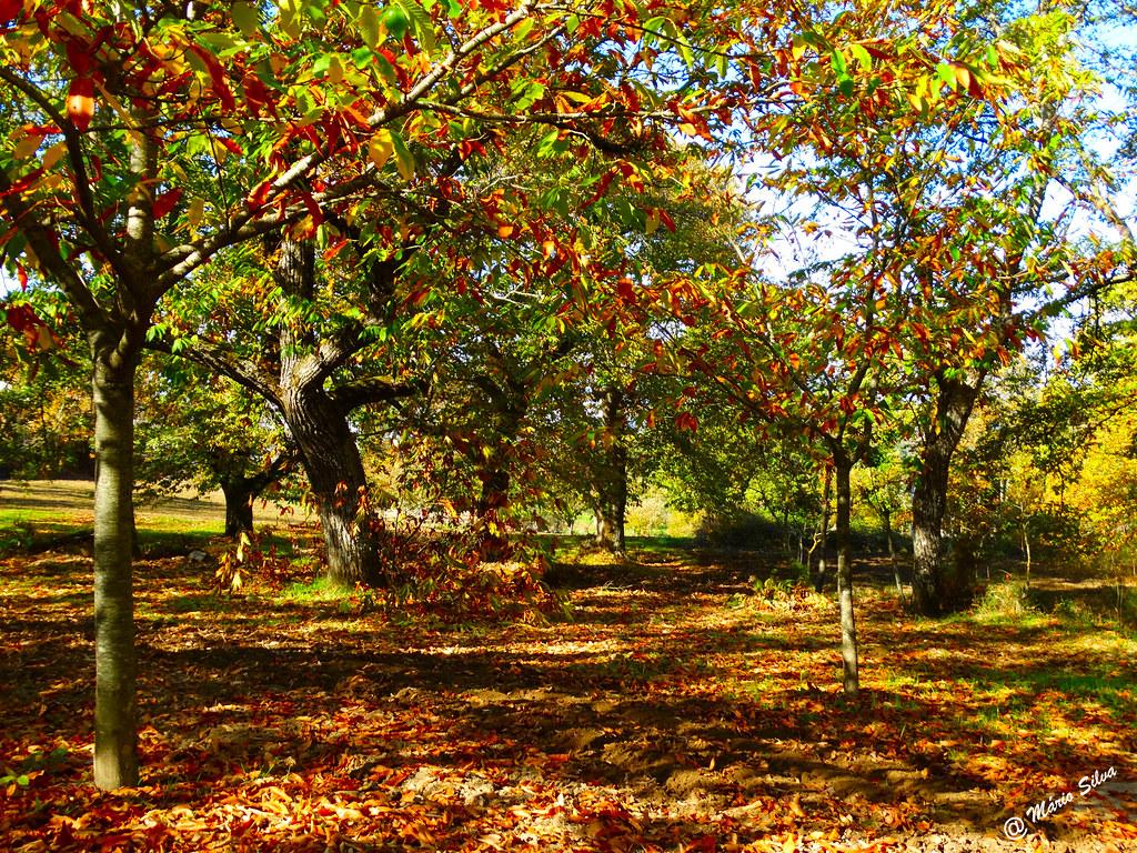 Águas Frias (Chaves) - ... os castanheiros e as folhas caídas ...