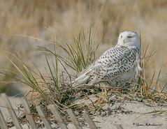 2I1A0463bb (lfalterbauer) Tags: islandbeach snowyowl canon 7dmarkii new jersey raptor avian ornithology bokeh beach dunes birdsofprey 100400mm arctic