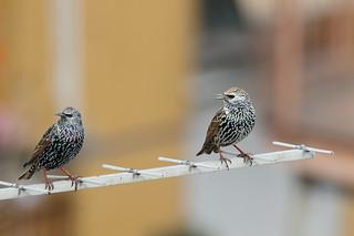 Storni in città - Starlings