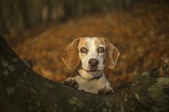 Fenja beagle bum (Paul M Loader) Tags: beagle fenja canon 50mm ef 50 mm 18 stm 5d mkiv