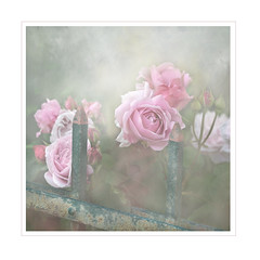 Fence and roses go well together. (BirgittaSjostedt_away until 24 Febrtuary) Tags: rose fence texture soft fencefriday photoborder frame magicunicornverybest flower ie