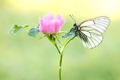 Spring In My Heart... (Zbyszek Walkiewicz) Tags: sony sunrise closeup butterflies butterfly bugs ngc coth5 npc