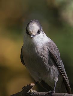 Portrait Mésangeai du Canada  -  Gray Jay
