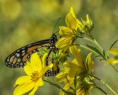 MonarchButterfly_SAF4324 (sara97) Tags: danausplexippus butterfly endangered insect missouri monarch monarchbutterfly nature outdoors photobysaraannefinke pollinator saintlouis towergrovepark copyright©2017saraannefinke
