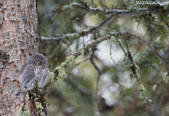 Northern Pygmy Owl (Max Waugh Photography) Tags: northernpygmyowl glaucidiumgnoma montana northamerica usa unitedstatesofamerica yellowstonenationalpark animal avian bird birdofprey brown nature predator small tiny wildlife winter spots spotted yellowstone12win maxwaugh topf25