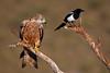 Posa2 (chuscordeiro) Tags: posados animal fauna wildlife nature naturaleza posaderos par urraca milano milvus ave pluma rapaz bird prey canon1dxmarkii canon500f4 españa spain airelibre couple colours