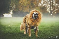 44/52 - Hear me roar! (yookyland) Tags: 52weeksfordogs 2017 misty 4452 dog lion costume fog fall foliage