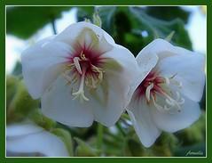 Perfect duo ! (Armelle85) Tags: extérieur nature flore fleur blanc macro