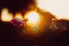 Sunset beauty (thethomsn) Tags: sunset beautyinnature flare blossom floral flowers flower goldenhour backlight plants 50mm thethomsn
