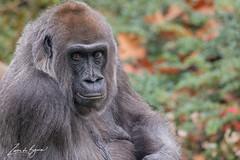 2017-11-03-Apenheul-0224.jpg (BZD1) Tags: westelijkelaaglandgorilla natuur hominidae mammal nature westernlowlandgorilla monkey haplorhini simiiformes apenheul gorilla gorillagorillagorilla animal apeldoorn primates