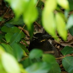 Xanthe Siouxsie Currawong has left the nest thumbnail