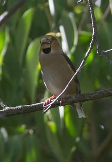 8.10.17 5  Hawfinch