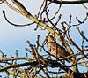3796 Mistle Thrush - Turdus viscivorus. (Andy - Busyyyyyyyyy) Tags: aaa avian bbb bird mistlethrush mistlethrushturdusviscivorus mmm passerine ppp songbird sss thrush ttt turdusviscivorus