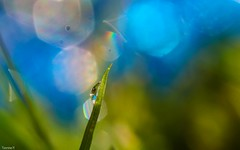 Drop - 4031 (YᗩSᗰIᘉᗴ HᗴᘉS +9 500 000 thx❀) Tags: bokeh bokehlicious beyondbokeh drop droplet nature macro supermacro canon canoneos7dmarkii blue green hensyasmine yasminehens