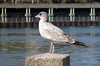 Juvenile Seagull (MalB) Tags: rooseveltisland manhattan ny nyc newyork america usa pentax k5