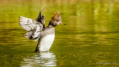 Hooded Merganser (f) (Bob Gunderson) Tags: birds california divingducks ducks goldengatepark hoodedmerganser lloydlake lophodytescucullatus mergansers northerncalifornia sanfrancisco