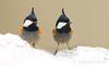 Black-crested Tit (Zahoor-Salmi) Tags: zahoorsalmi salmi wildlife pakistan wwf nature natural canon birds watch animals bbc flickr google discovery chanals tv lens camera 7d mark 2 beutty photo macro action walpapers bhalwal punjab