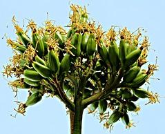 Detalle de flor de Pita (portalealba) Tags: flores cómpeta portalealba canon eos1300d