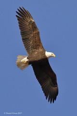 Soaring Bald Eagle (danielusescanon) Tags: baldeagle haliaeetusleucocephalus accipitriformes accipitridae bif flight soar soaring sewardhighway windycorner alaska wild