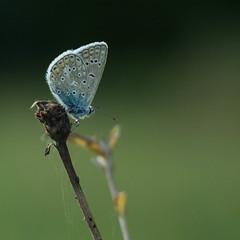P'tit bleu... (Gisou68Fr) Tags: agusbleu azuré azurédelabugrane polyommatusicarus azurécommun commonblue papillon butterfly schmetterling canoneos650d efs18135mmf3556isstm bokeh