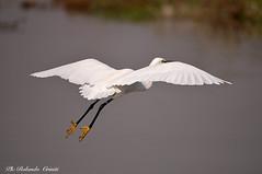 Garzetta _042jpg (Rolando CRINITI) Tags: garzetta uccelli uccello birds ornitologia racconigi natura