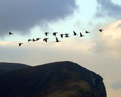 Geese (stuartcroy) Tags: orkney island geese hill hoy scotland sky sony