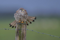 R17_8543 (ronald groenendijk) Tags: cronaldgroenendijk 2017 falcotinnunculus rgflickrrg animal bird birds birdsofprey groenendijk holland kestrel nature natuur natuurfotografie netherlands outdoor ronaldgroenendijk roofvogels torenvalk vogel vogels wildlife