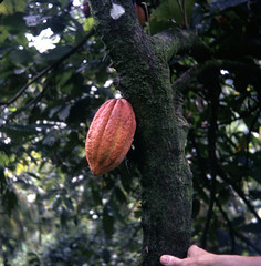img553 (foundin_a_attic) Tags: cacao tree chocolate geest bananas
