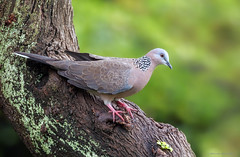 Spotted Dove (E_Rick1502) Tags: