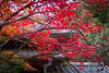 Shojiji Tempel, Kyoto (Christian Kaden) Tags: autumn herbst herbstfärbung jahreszeit japan kansai kioto koyo kyoto natur nature season shojiji tempel temple autumncolors fall fallfoliage お寺 こうよう 京都 仏教 仏閣 勝持寺 季節 日本 秋 紅葉 自然 関西