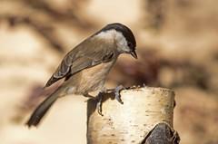 Mes anges (PierreG_09) Tags: seix ariège pyrénées pirineos couserans faune oiseau mésangenonnette poecilepalustris marshtit carboneropalustre viitatiainen sumpfmeise régulidés