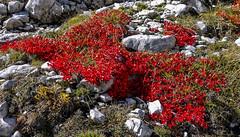 Herbst in Südtirol / Autumn in South Tyrol (ludwigrudolf232) Tags: südtirol herbst weide pflanzen rot