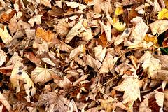 P1270711 (steve p2008) Tags: burtonupontrent autumn november2017 woodland trees
