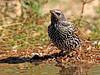 Estornino pinto (Sturnus vulgaris) (1) (eb3alfmiguel) Tags: aves pajáros insectívoros passeriformes sturnidae estornino pinto sturnus vulgaris