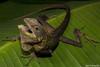 Maned Forest Lizard (Bronchocela jubata) (Jari Cornelis) Tags: jari cornelis canon 700d macro 60mm herp herps herping herpetofauna reptile maned forest lizard bali indonesia natgeo ngc bronchocela jubata asia