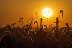 At sundown.... (Joe Hengel) Tags: evening eveninglight eveningskies ephratapa ephrata pennsylvania pa sunset sun sunlight sunglare watchingthesunset weeds weed silhouette silhouettes fall fallcolors atsundown 7dwf