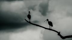 Watchers (AWLancaster) Tags: silhouette birding ibis tree ominous clouds lightroom storm photowalk sky outdoors