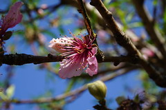 Cherry blossom (Lara C. -Italy-) Tags: flower flora macro nature pink sakura chery blossom