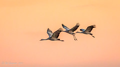 Sandhill Cranes at Sunset [Explored] (Bob Gunderson) Tags: birds california centralvalley gruscanadensis northerncalifornia sanjoaquincounty sandhillcrane wadingbirds woodbridgeroad