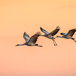 Sandhill Cranes at Sunset thumbnail