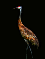 (daystar297) Tags: sandhillcrane crane bird birds feathers colors nature wildlife beautiful nikonnikon d90 fortpierce florida photoshop nikonnikkor18200vr