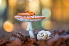 Fairytopia (SonjaS.) Tags: pilze fairytopia mushroom wald forest licht light makro pentacon 50mm meyergörlitz sonjasayer fliegenpilz bokeh natur