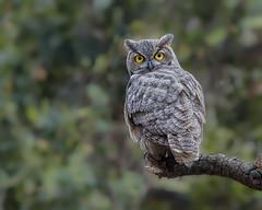 Stare-down (vishalsubramanyan) Tags: owl gho greathornedowl raptor birdofprey juvenikle hunter squirrel wildlife nature wildlifephotography naturephotography nikon d500 nikond500 300f4 14