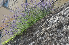 shadows of the lavenders (Hayashina) Tags: fence shadow monteisola lavender italy hff