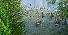 Geese (esala.kaluperuma) Tags: birds river lake geese