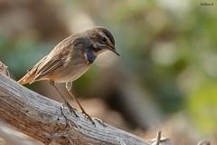 Bluethroat (Dave 5533) Tags: bluethroat songbird wildlife wildlifephotography naturephotography nature birdphotography birdsinisrael outdoor animal canoneos1dx ef300mmf28lisiiusm
