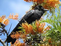 DSCN0194 [Explore-2017-11-25] (Gazman_AU) Tags: nikoncoolpixp900 australia crow silkyoak grevillearobusta tree flowers