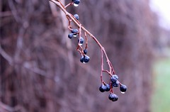 November's Juice (Haytham M.) Tags: canada ontario november autumn fall elegance forest woods path twigs trres walk nature berries